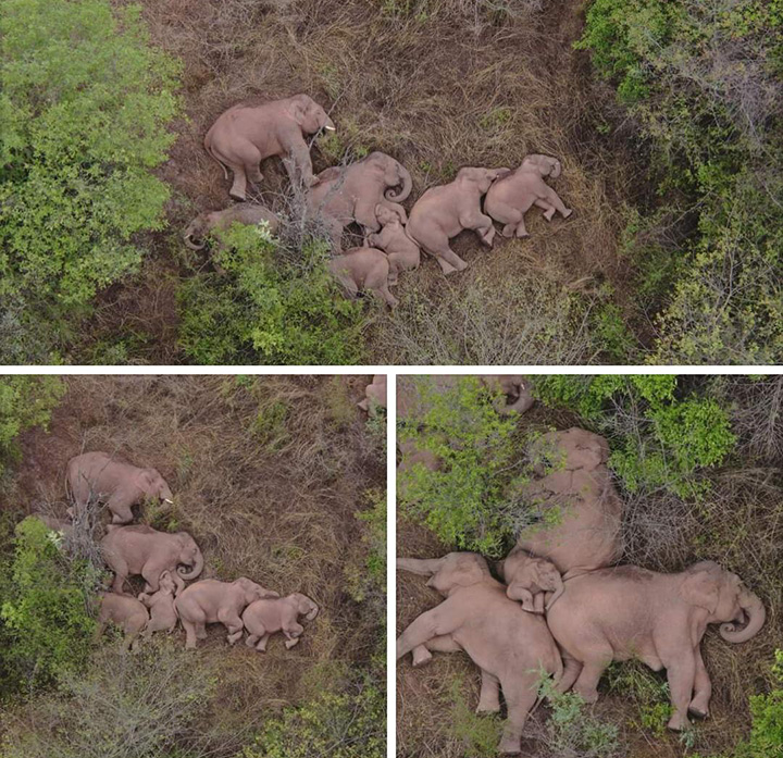 Drone Captures Adorable Video Of Wild Elephant Herd Napping After 300 Mile Trek